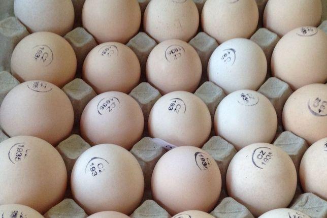 КОББ 500, Чехия. Инкубационное яйцо.