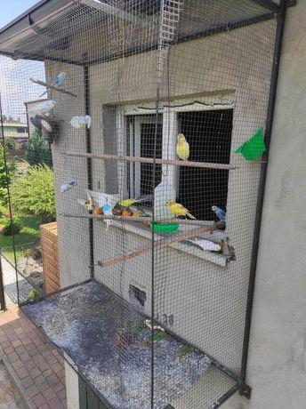 Papugi faliste mlode