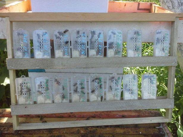 Продам. НАЙКРАЩОЇ ЯКОСТІ (Пчеломатки) Бакфаст Первое поколение