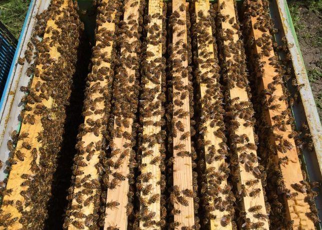 Бджолині матки Карпатка-матка Вывожу