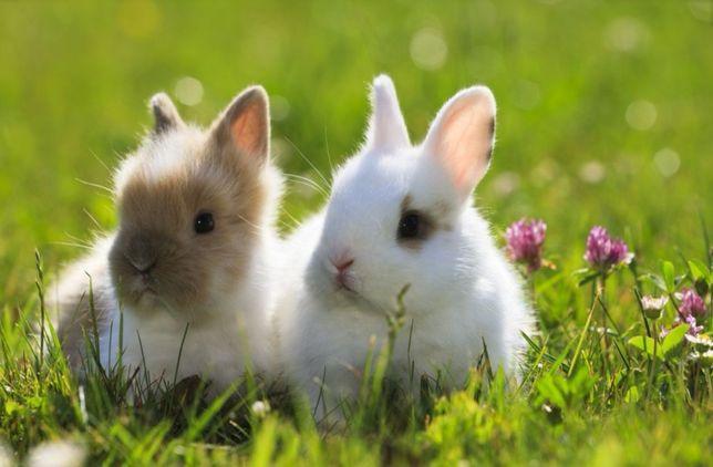 KIT completo coelhos anões mini