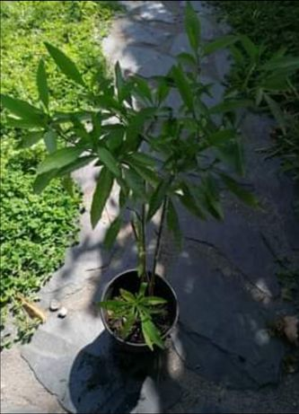 Solanum pseudocapsicum - arbusto