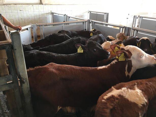 Byczki, cielęta mięsne - transport gratis