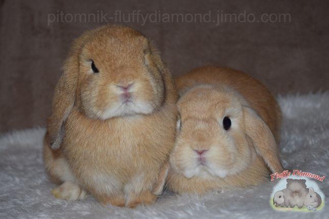 Карликовые крольчата. От лучших представителей породы!