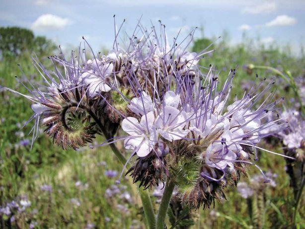 Facelia błękitna, pożytek dla pszczół, zielony nawóz.