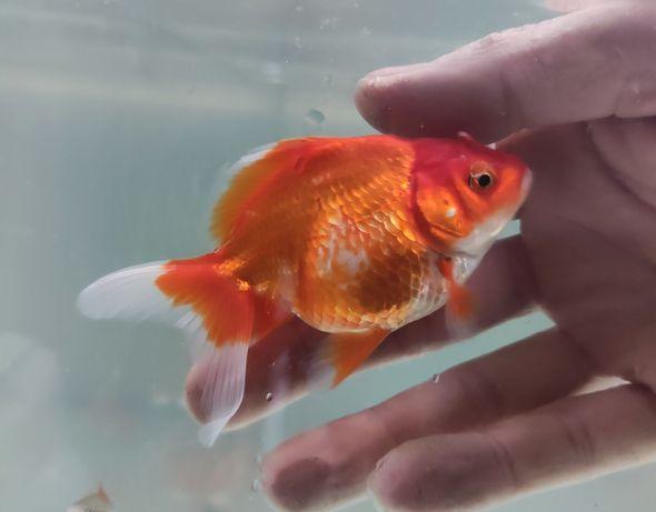 золотая рыбка, вуалехвост, риукин