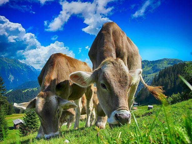 Mleko krowie naturalne pełnotłuste ekologiczne, krowy jedzą siano