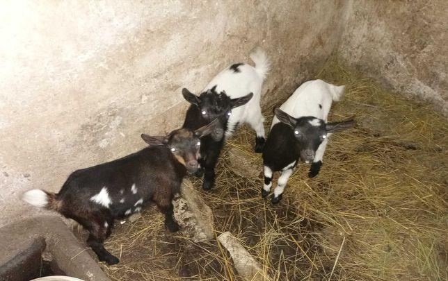 koziolki miniaturki - karlowate - 3 koziołki,koza miniaturka