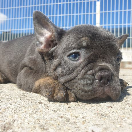 Bulldogue Frances Blue brindle
