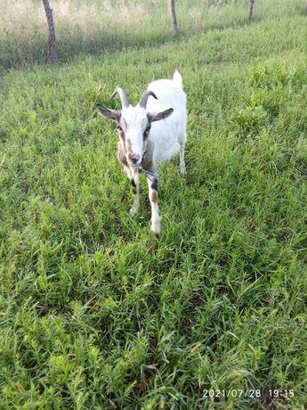 Хорошая коза, дойная.