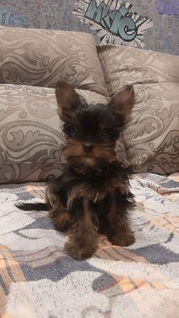 Продам щенка мини йоркширского терьера, девочка, бейби фейс