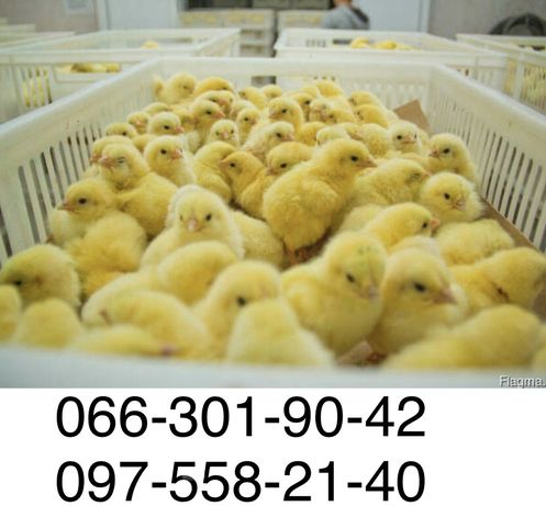 бройлер суточный цыплята Кобб-500  живым весом 2,5 кг несушкидоставка