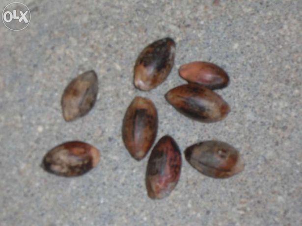 Sementes Palmeira Kentia- 15 unidades