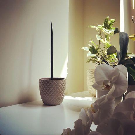 Сансевьерия цилиндрика Sansevieria cylindrica молодое растение