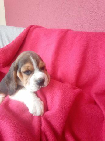 Beagle Qualidade Superior