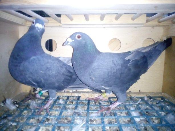 Gołębie pocztowe para czarnych czarne