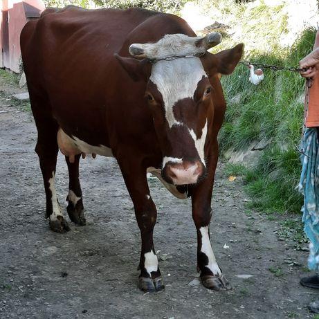 Sprzedam Krowę czerwoną