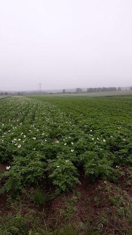 Sadzeniaki Vineta,Bellarosa