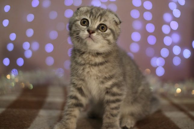 Котята скоттиш фолд / страйт шотландские вислоухие / прямоухие
