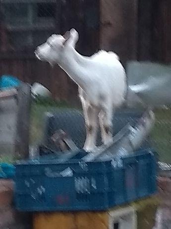 Sprzedam kozy wymagana siedziba stada