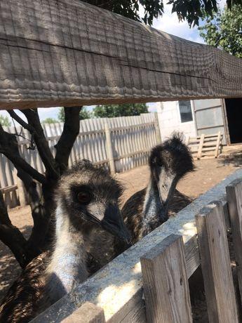 Продаю пару страусов