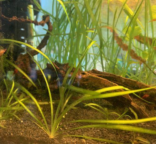 Rośliny akwariowe trawa nurzaniec