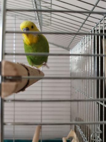 Papużka z klatką i akcesoriami