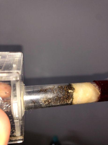 Aphaenogaster beccarii mrówki do formikarium Q+35-45w