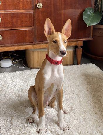 Cão de 6 meses para adopção