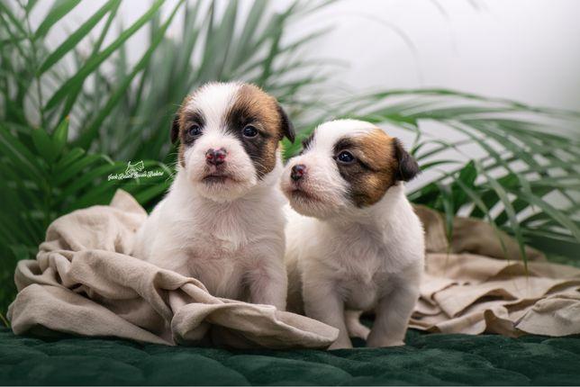 Szczenięta Jack Russell Terrier Kraków [ZKWP & FCI]