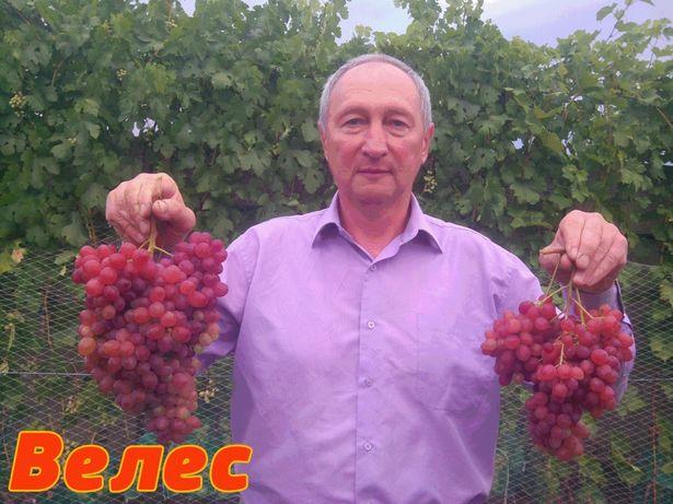 Зеленые( вегетирующие ) саженцы винограда