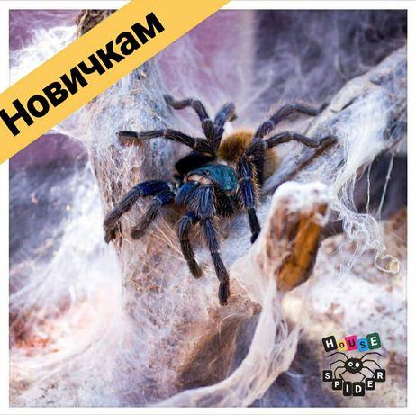 Самки паука птицееда chromatopelma cyaneopubescens