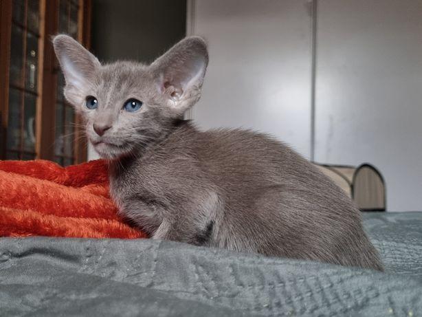 Kot orientalny kocięta FPL