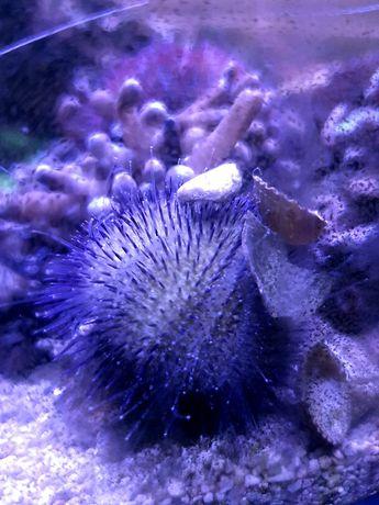 Pseudoboletia sp. jeżowiec akwarium morskie