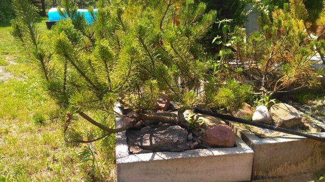 Drzewka bansai w doniczkach