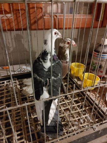 Staropolskie golebie staropolskie