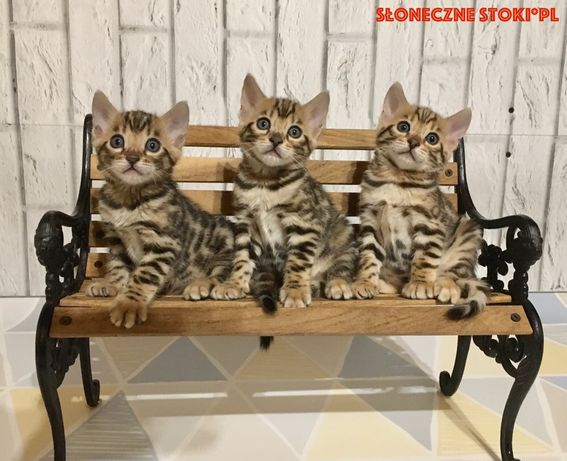 Kot Bengalski               Kocięta Bengalskie