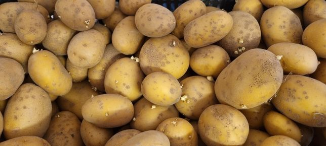 Batata semente Agria