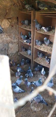 Vendo pombos cruzados de pombos Correios