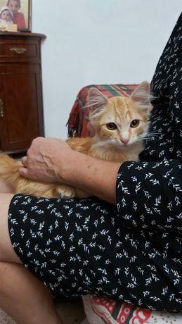 Gato amarelo pelo médio longo