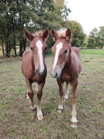Konie zimnokrwiste sztumskie do programu