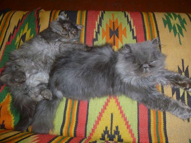 персидский кот  вязка бесплатно