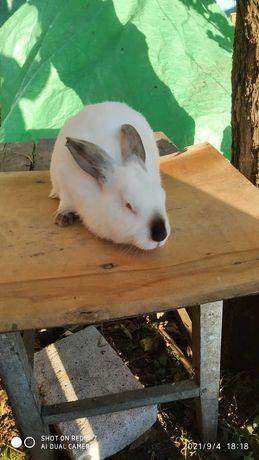 Кролик Калифорния