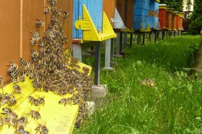Pszczoły, rodziny pszczele, ule wielkopolskie, pszczoły z ulami