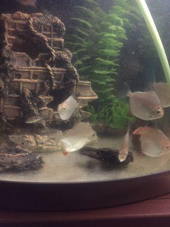 Plaskoboki ryby akwariowe