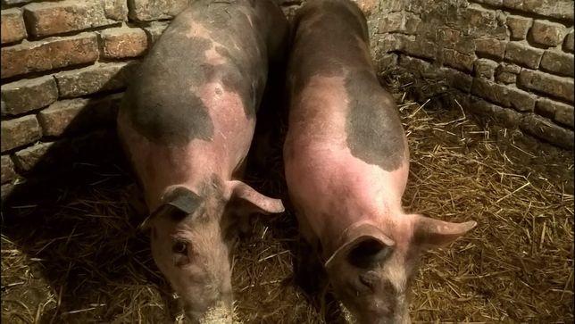 Срочно! Продам 2 свиноматки на племя