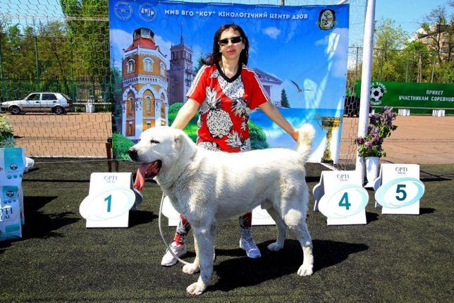 Продается белый крупный кобель среднеазиатская овчарка (алабай)