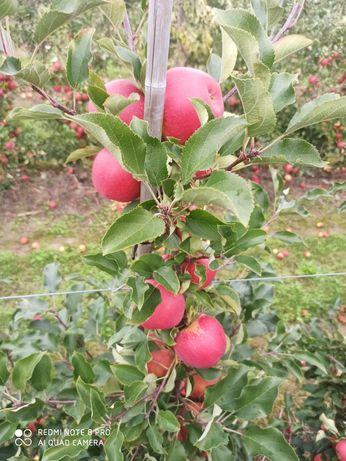 Jabłko  ekologiczne Gala ligol champion