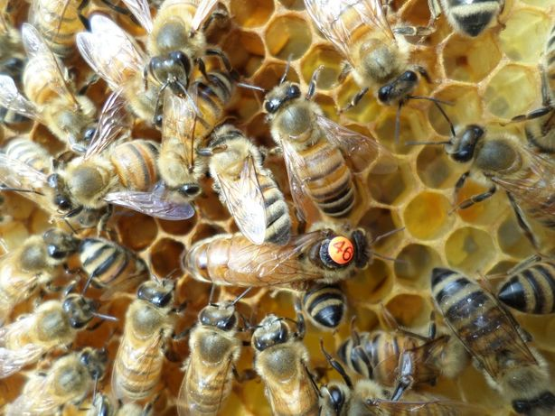 Бджоломатки (Пчеломатки-матки) Бакфаст F1 2021 р.