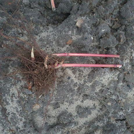 Miskant olbrzymi sadzonki rizomy skarpa Giganteus